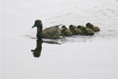 wood-duck-family
