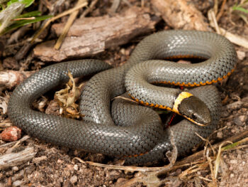 Rink neck snake