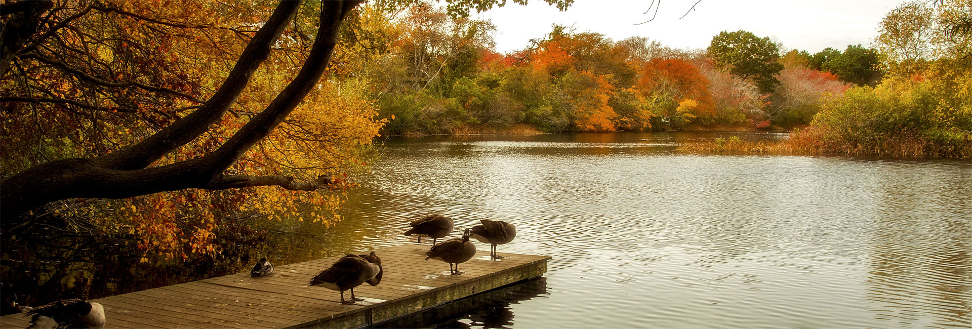 Geese on the dock at the ice pond with autumn colors