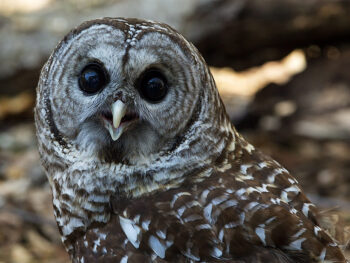 Adopt a Barred Owl