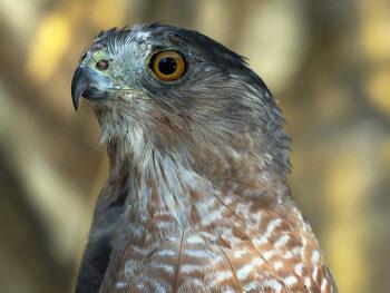 Adopt a Cooper's Hawk