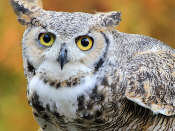 Adopt the Great Horned Owl