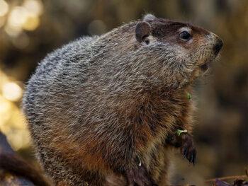 Adopt a Groundhog