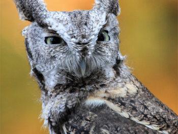 Adopt a Screech Owl