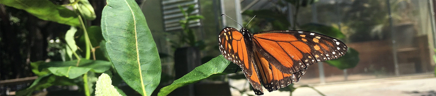 monarch in the butterfly garden