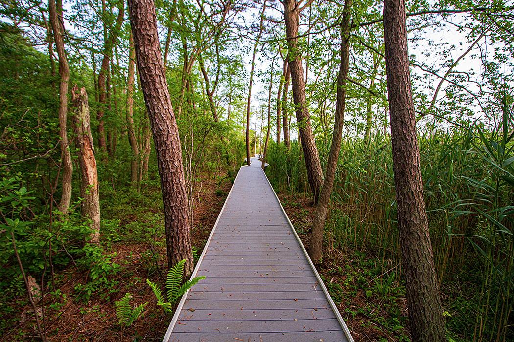 Fairy Dell Boardwalk through the pine trees