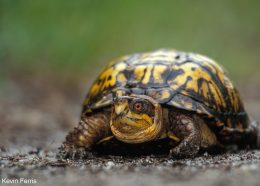 Creature Feature: Eastern Box Turtle