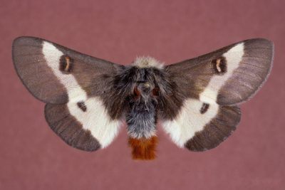 The Autumnal Mating Flight of the Buck Moth: an Iconic Pine Barrens species