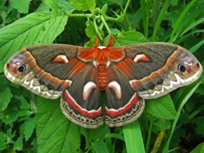 Marvelous Moths! Celebrate National Moth Week (Virtual Program)