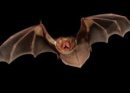 Secret Life of: The Eastern Red Bat (Lasiurus borealis)