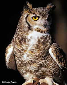 Great Horned Owl, photo by Kevin Ferris