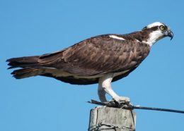 Creature Feature: Osprey