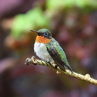 Attracting Ruby-throated Hummingbirds (Virtual)