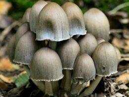 inkcap fungi
