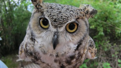 Look WHO is here . . . Live Owls!