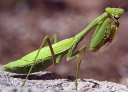 Creature Feature: Praying Mantis