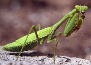 Creature Feature Praying Mantis