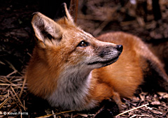Red Fox, photo by Kevin Ferris