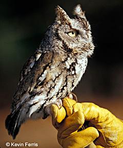 Eastern Screech Owl, photo by Kevin Ferris