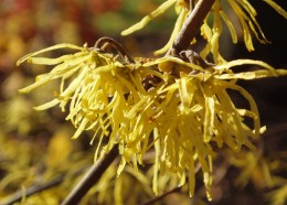 Secret Lives of: Witch Hazel