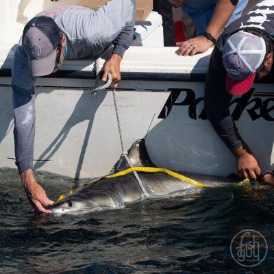 LI's White Shark Research