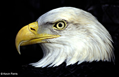 Creature Feature: Bald Eagle