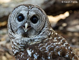 Barred Owl, photo by Kevin Ferris