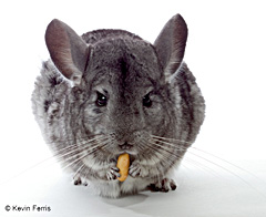 Chinchilla, photo by Kevin Ferris