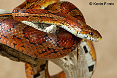 Corn Snake, photo by Kevin Ferris