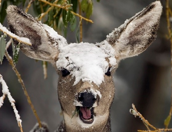 deer covered in snow