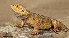 male bearded dragon, photo by Kevin Ferris