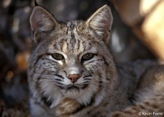 Bobcat_copyright