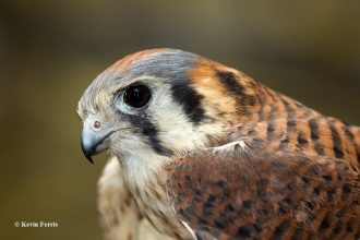 Female-Kestrel_copyright