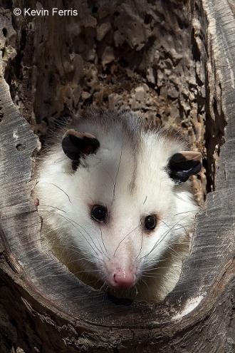 Opossum_copyright