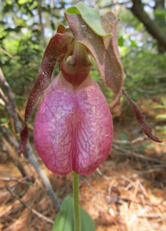 pink-lady-slipper-at-QWR-2