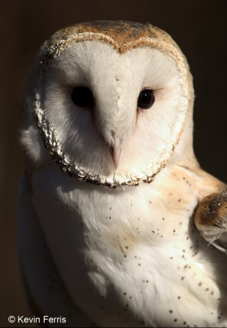 Barn_owl_copyright