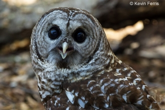 Barred-owl_copyright