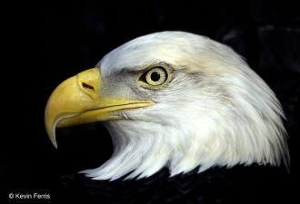 Eagle_copyright