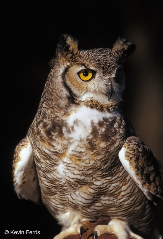 Great-Horned-Owl_copyright