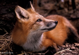 Red-Fox_copyright