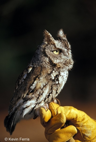 Screech-Owl_copyright