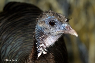 Wild-Turkey_copyright