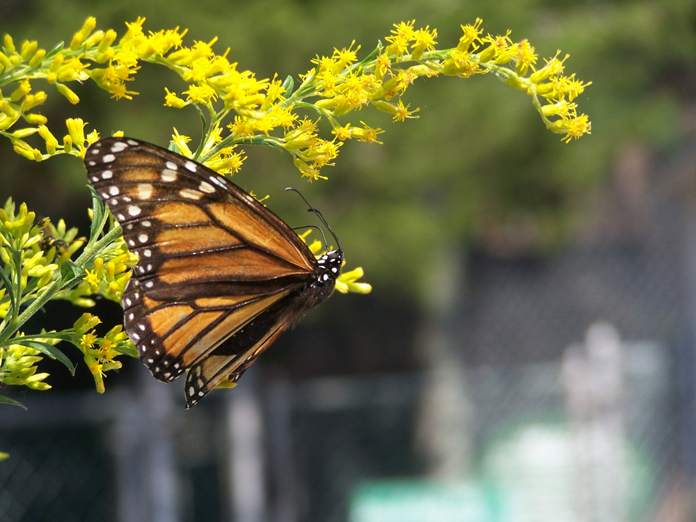 monarch on golden rod
