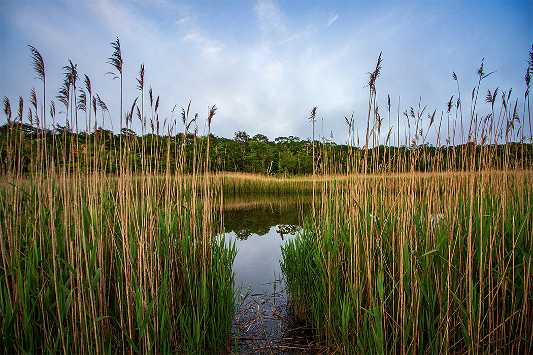 fairy-dell-reeds