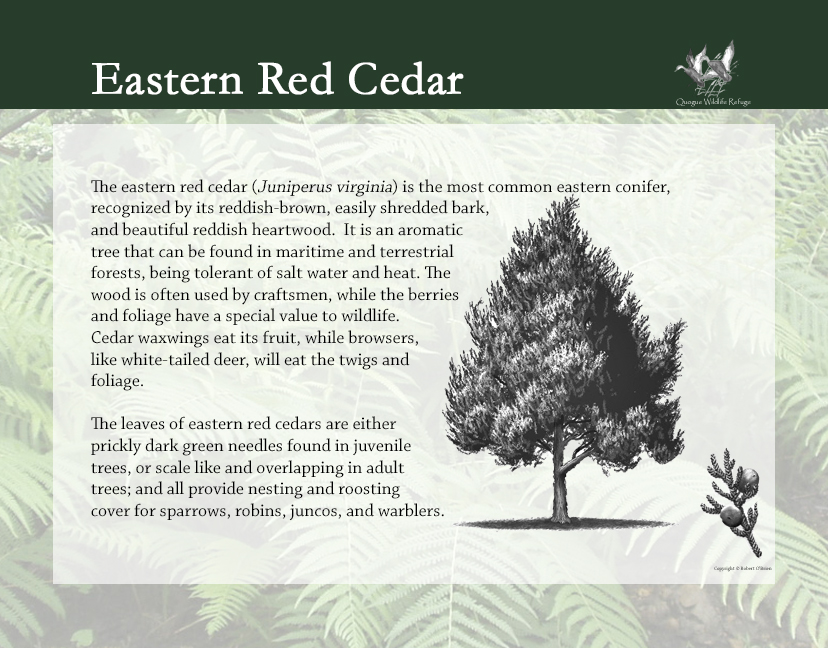 Flora and Fauna - Eastern Red Cedar