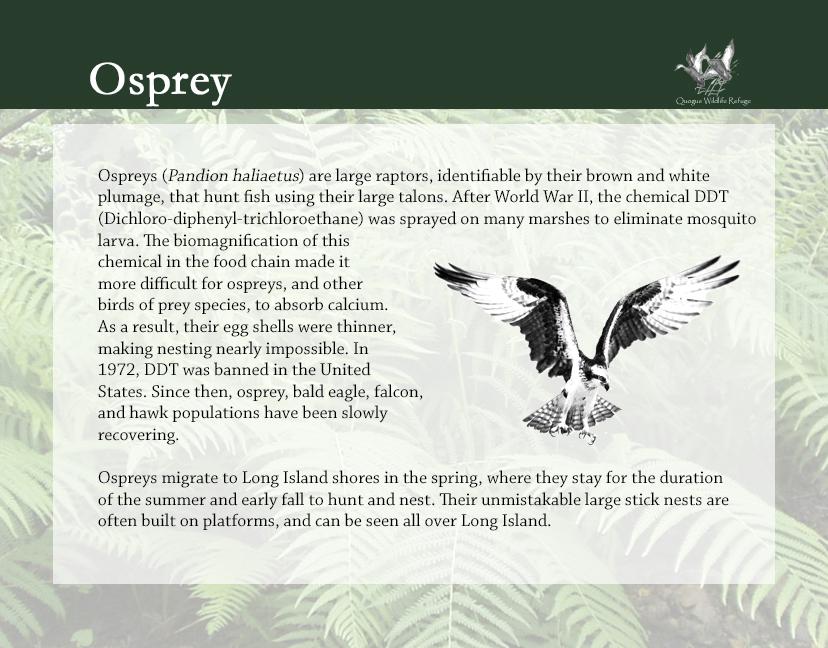Flora and Fauna - Osprey