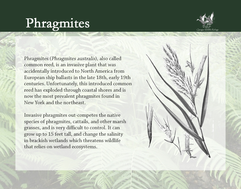 Flora and Fauna - Phragmites