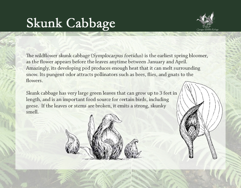 Flora and Fauna - Skunk Cabbage