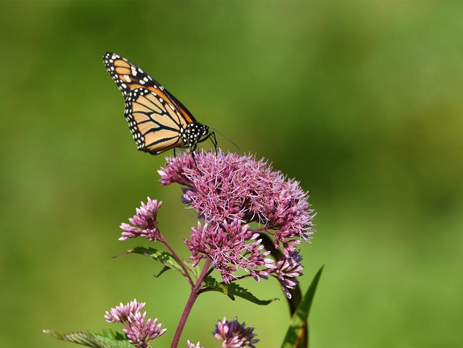 monarch-on-joepye