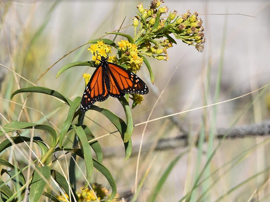 monarch-on-milkweed